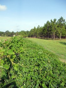 Photo of Kudzu patch - before |