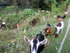 Photo of goats in kudzu-covered field
