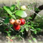 Mayhaw Berries on the Tree