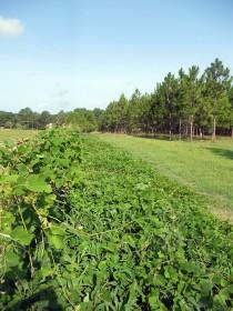 Photo of Kudzu patch - before |