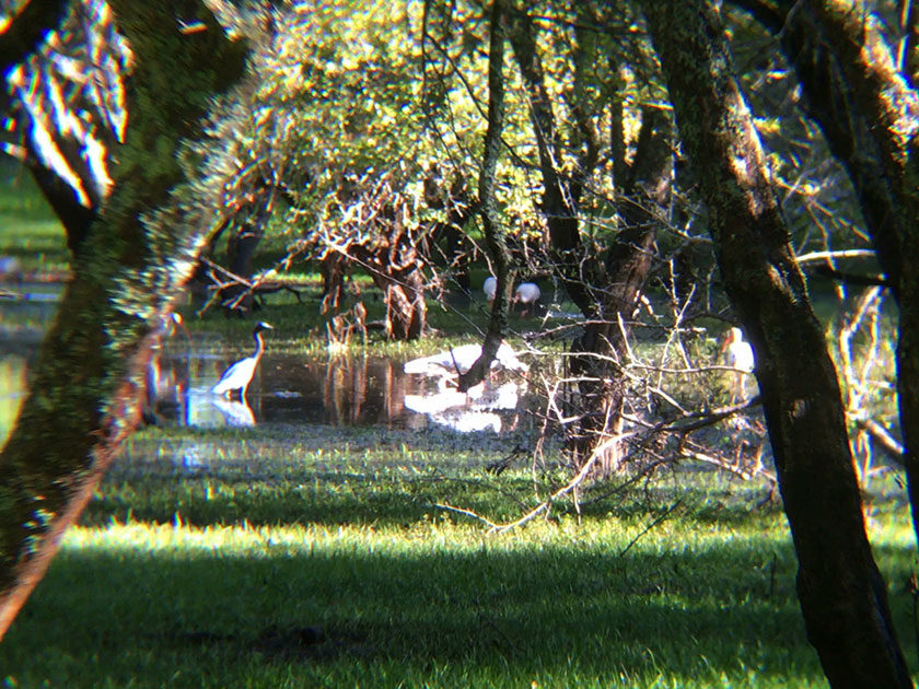 Great blue Heron and Ibises